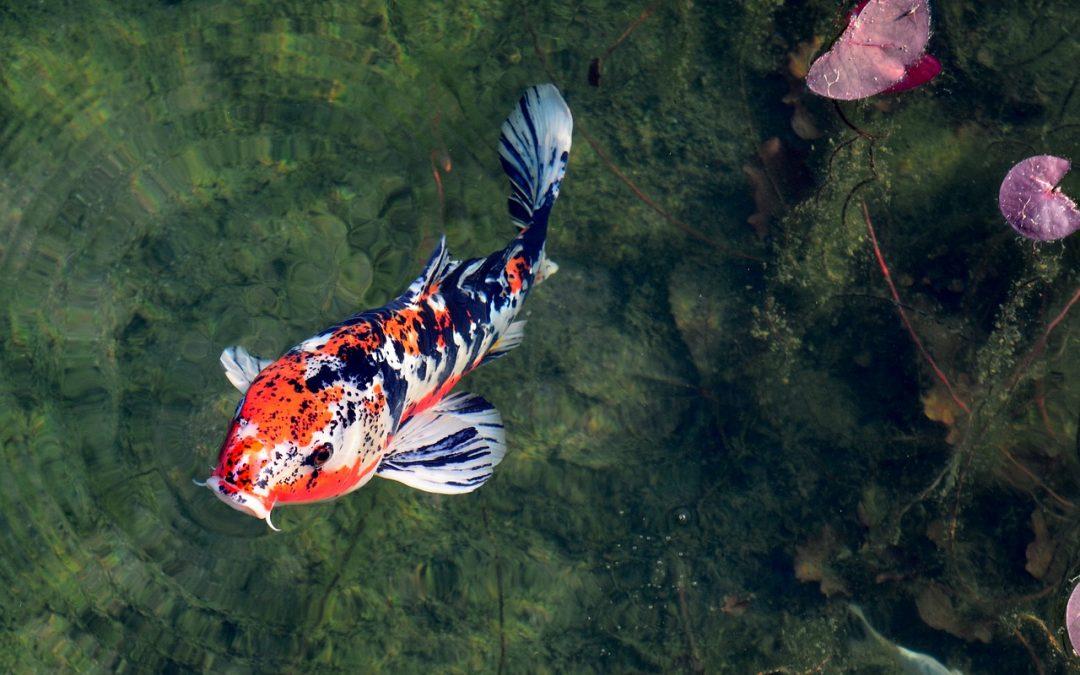 Koi Karpfen – Schwimmende Statussymbole