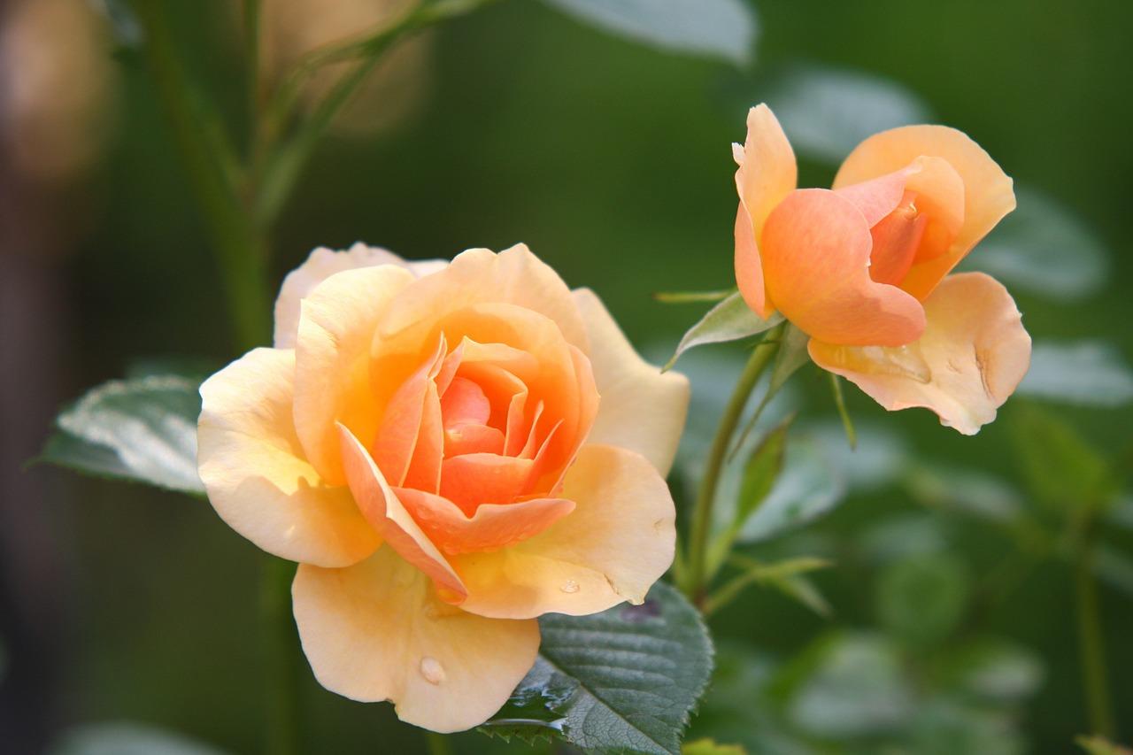 Blattläuse an Rosen bekämpfen