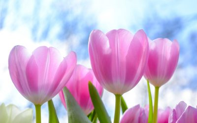 Tulpen – Herbstsäer, Winterblume, Frühlingsblüher