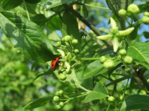 Der Spindelstrauch – ein schöner Schmuck für den Garten